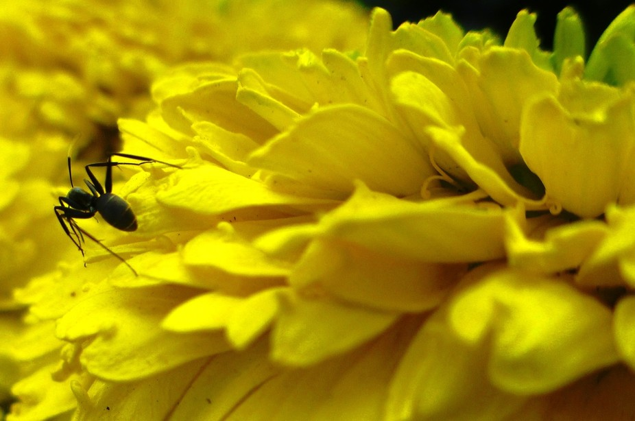 caught it running over my yellow marigold flowers...trespasser!! so i chased it with my lens n go...