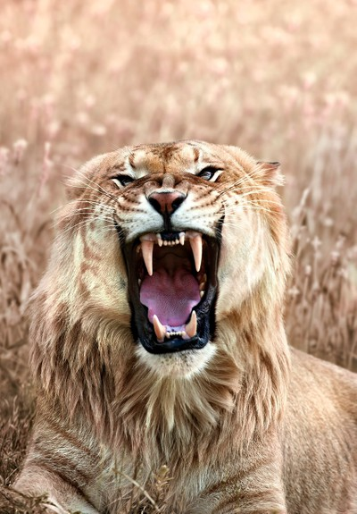 Angry Liger Closeup Showing its Teeth