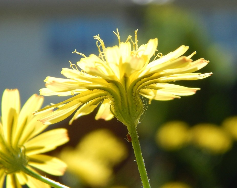 Yellow Flower with strands of pollen.