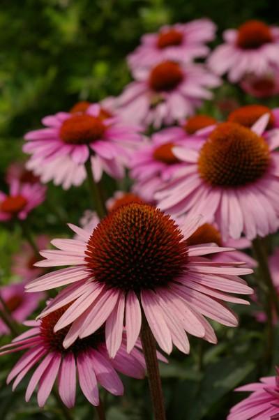 Hi Line Flower 1