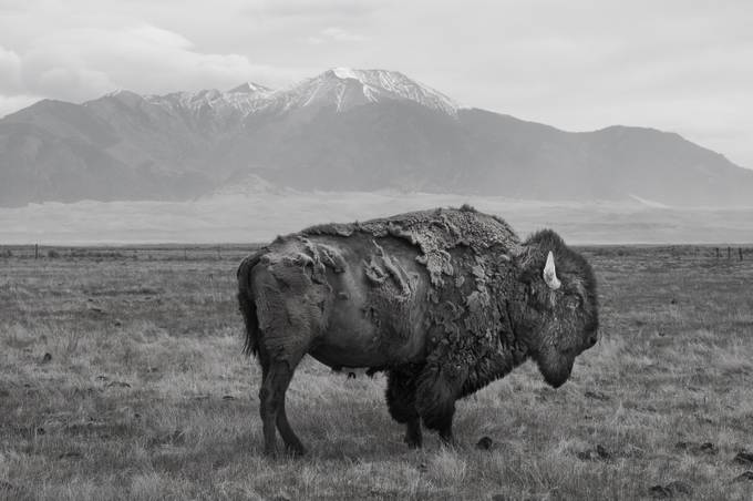B&W Bison 02 - by LCdutch - Animals In Black And White Photo Contest