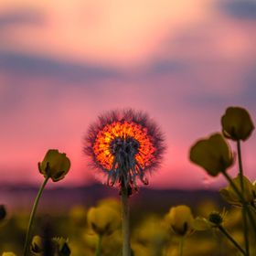 Taken at Barrow-in-Furness UK. I went with the intention of just photographing a sunset, but as i was sitting in the field, i saw the dandelion a...