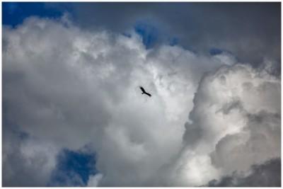 Hawk-in-sky