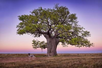 Dinner Tree - Kimberley WA