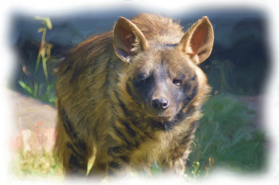 This is rarest of all the hyena species