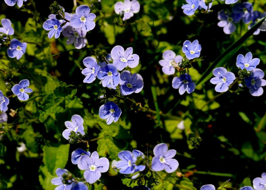 The wild petunia\'s grow very close to our home. Wild flowers are so beautiful.