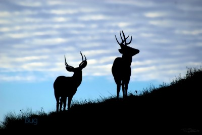 Evening Bucks