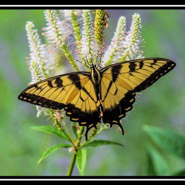 Posin' Butterfly