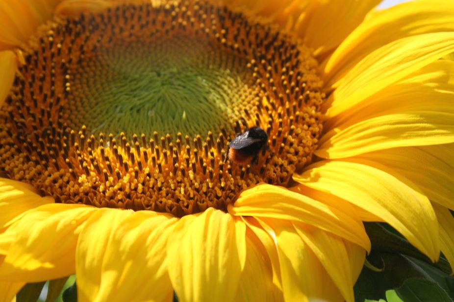 sunflower from the garden