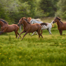 Our Arabian horses running in their pasture.