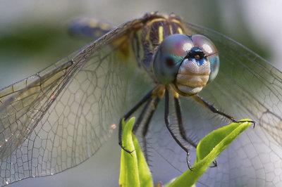 Apolinario_dragonfly-_MG_1228