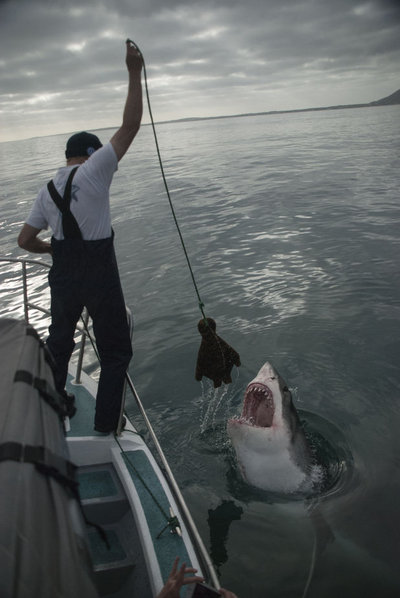 Great white shark and decoy