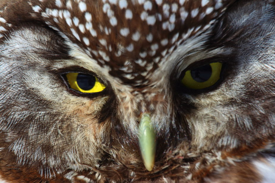 """this owl was on my snow pile outside my front door. It\'s native American name means """"The Bli..."""