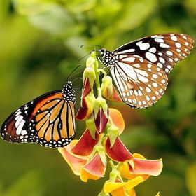 Peace prevails in the butterfly world. Lessons to learn.