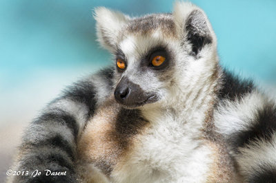 Ring-Tailed Lemur, chilling in his sweet Caribbean sanctuary