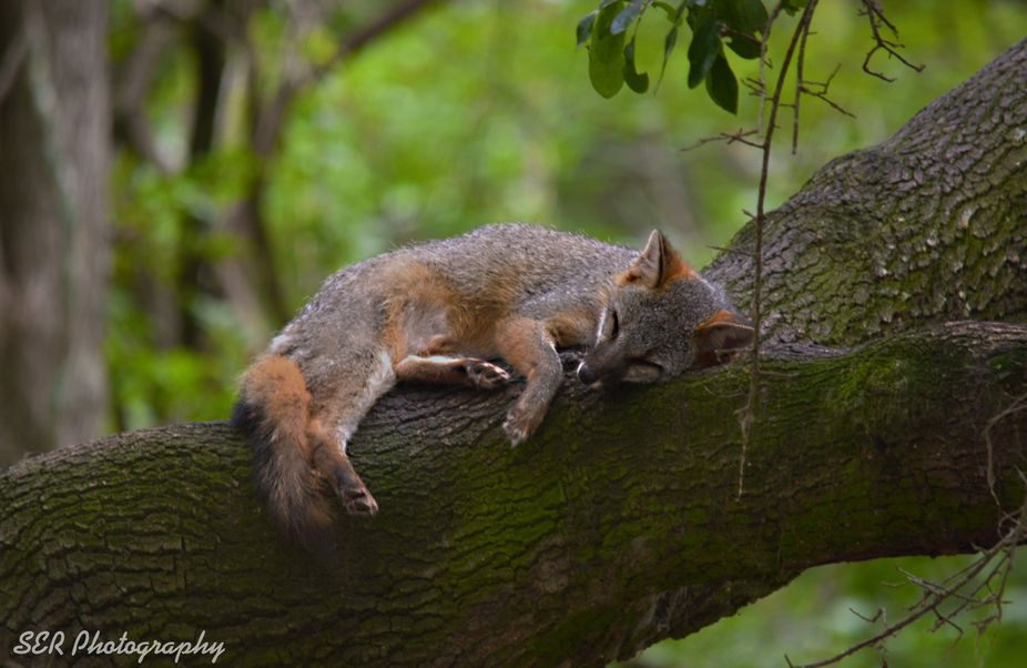 Red Fox Asleep in Old Oak. Brookgreen Gardens South Carolina
