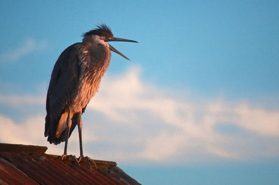 Great Blue Heron on a Red Tin Roof