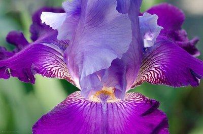Glowing Iris