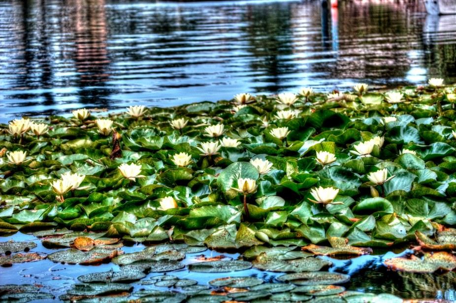 Patcfh of Lily Pads on Langford Lake Vancouver Island BC Canada