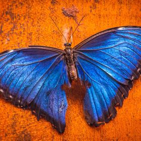 A blue morpho butterfly from Costa Rica