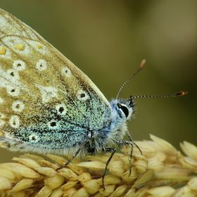 Living up to its name, this butterfly is the commonest blue found in the British Isles. While the male has bright blue uppersides, the female is ...