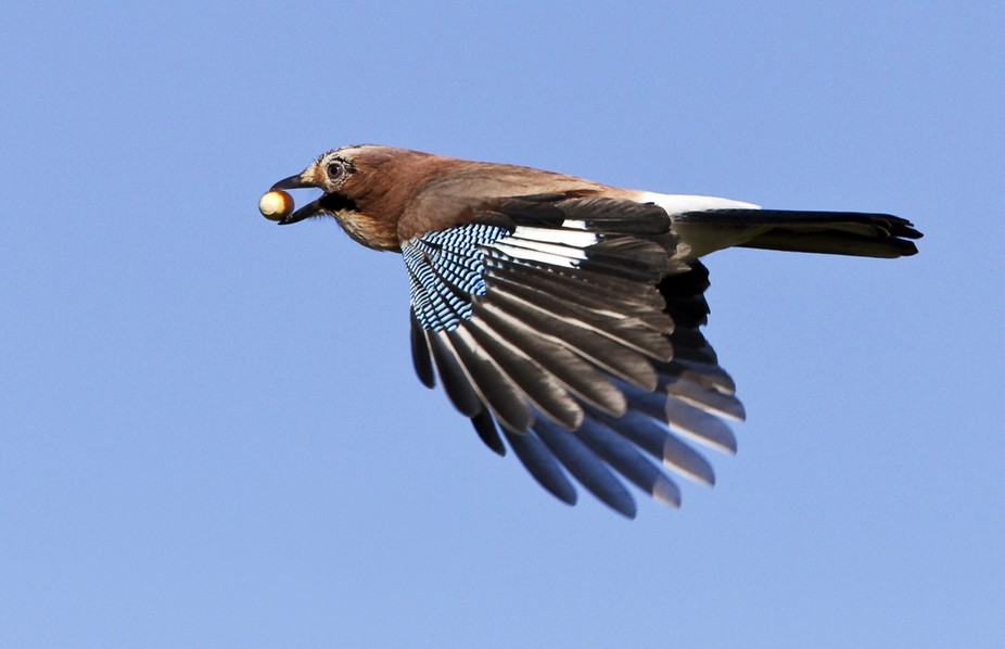 Jay on the Wing with Acorn