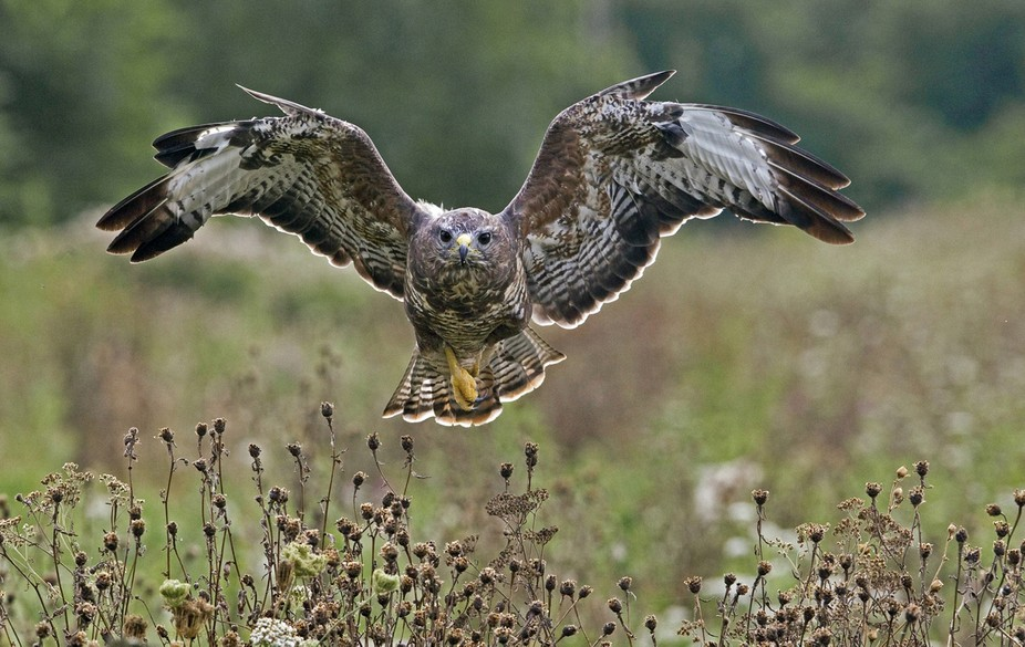 Backlight Buzzard on the Wing