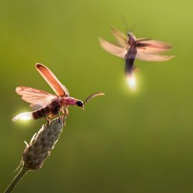 A macro shot of a mating pair of fireflies showing off their glow lights