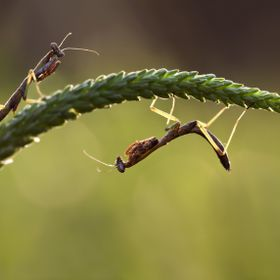 A macro shot of two praying mantis that are about to mate or fight.