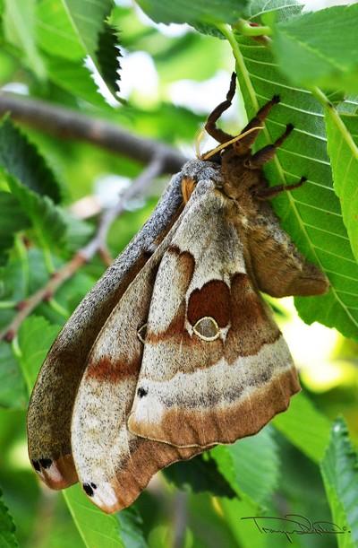 Rothchildea Moth