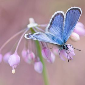 Common Blue butterfly on Nodding Onion