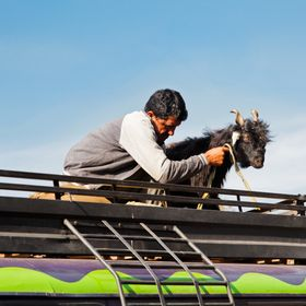 landscape in Jammu Kashmir man and his goat traveling across region on the roof rack of a colorful mini bus, typical of tropical cultures