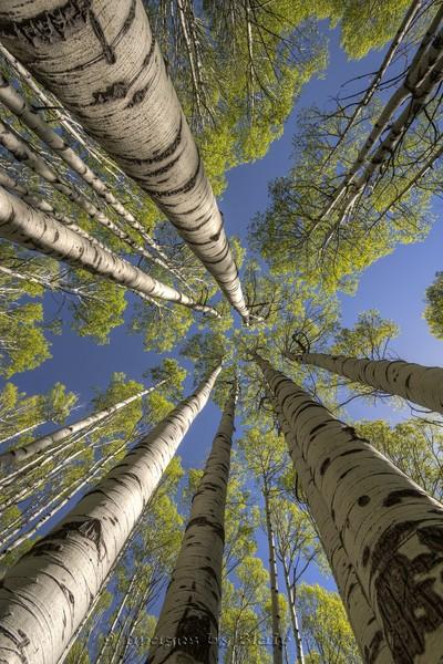 Looking Up Treetops