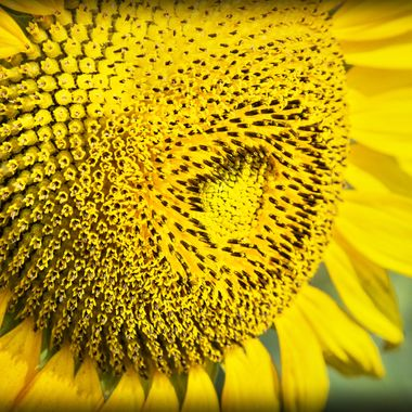 Sunflower - up close