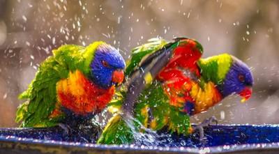 Wild Rainbow Lorikeets having fun.