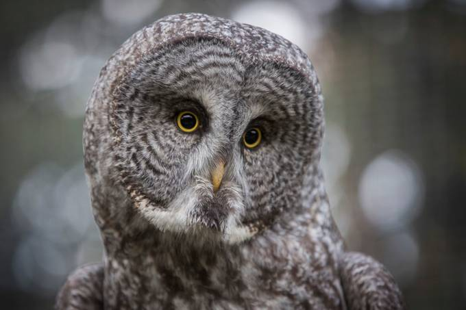 Owl by Chris_Gibbs - Only Owls Photo Contest