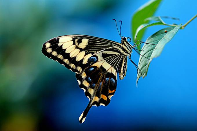 Swallowtail Blue by carolcardillo - Beautiful Butterflies Photo Contest