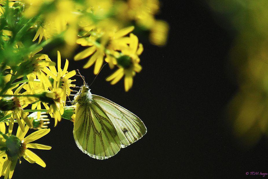 Green-veined White Pieris napi Female Underside