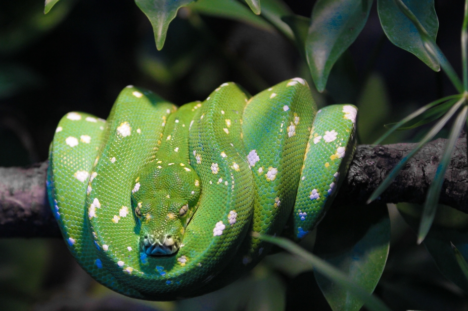 Nasty green snake sitting in a tree.
