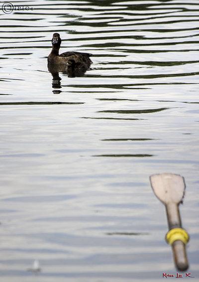 Duck & Oar