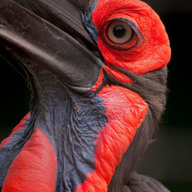 Southern Ground Hornbill (Bucorvus leadbeateri), Lory Park Zoo, Presidents Park, Midrand, Gauteng, South Africa - 2012 (T. Winfield) - Nikon D90 ...