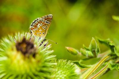 Butterfly on a burdock