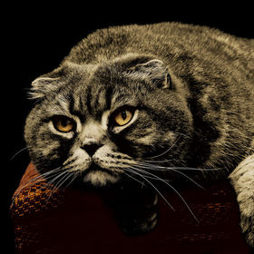 Scottish fold cat and its predators look. 2013