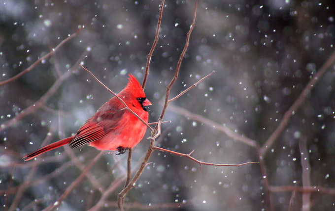 Cardinal in Snow by jodiandersonhattery - Snowflakes Photo Contest