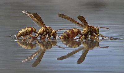 Wasp Duo