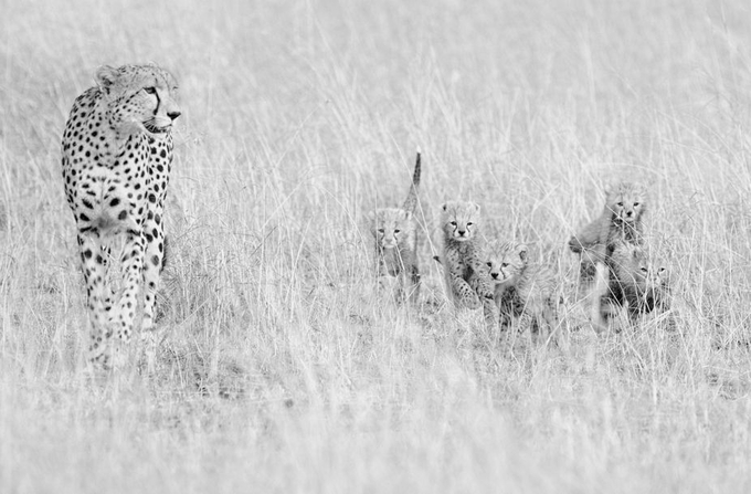 cheetah family by kasper - Baby Animals Photo Contest