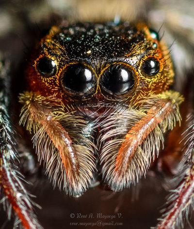 Jumping Spider - DSC_2747