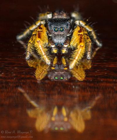 Jumping Spider - DSC_8051
