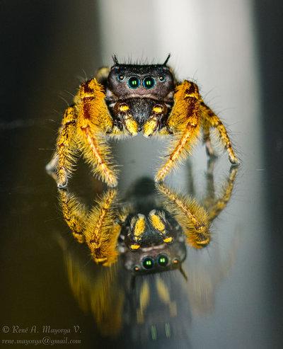 Jumping Spider - DSC_8068
