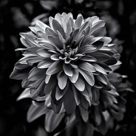 A series of black and white photographs of flowers grown in our backyard and in the gardens of our neighbourhood here in Toronto Canada.